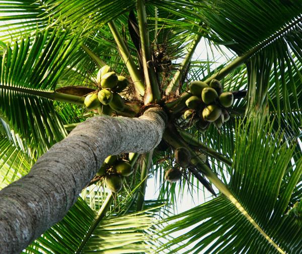 производство кокосового масла